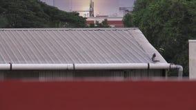 Τρία περιστέρια που εγκαθιστούν στη στέγη του σπιτιού και που πετούν κάτω Φως αποτελεσμάτων ημέρας μετά από τη βροχή απόθεμα βίντεο