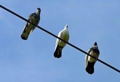 Τρία περιστέρια που σκαρφαλώνουν σε ένα καλώδιο Στοκ Φωτογραφία