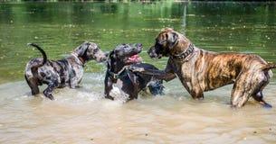Τρία πιό τεράστια γερμανικά σκυλιά μαστήφ που παίζουν στο νερό το ένα με το άλλο στοκ εικόνες