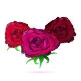 Τρία που απομονώθηκαν αυξήθηκαν λουλούδια διανυσματική απεικόνιση