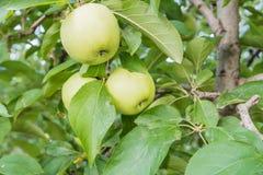 Τρία πράσινα μήλα Στοκ Εικόνες