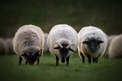 Τρία πρόβατα κέρατων του Norfolk στοκ εικόνες
