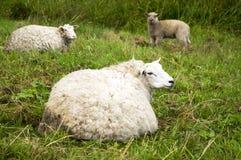 Τρία πρόβατα κατά τη βοσκή στο λιβάδι Στοκ φωτογραφία με δικαίωμα ελεύθερης χρήσης