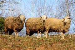 Τρία πρόβατα που αντιπροσωπεύουν και που θέτουν τη κάμερα Στοκ Εικόνες
