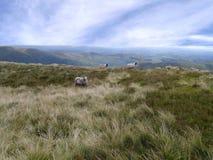Τρία πρόβατα στο λόφο στοκ φωτογραφίες με δικαίωμα ελεύθερης χρήσης