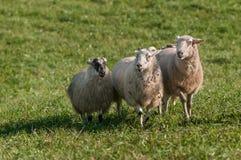 Τρία πρόβατα & x28 Ovis aries& x29  Κίνηση μπροστινή Στοκ εικόνες με δικαίωμα ελεύθερης χρήσης