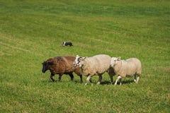 Τρία πρόβατα Ovis aries και σκυλί αποθεμάτων στο υπόβαθρο Στοκ Φωτογραφίες
