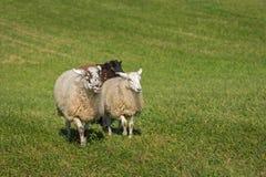 Τρία πρόβατα Ovis aries περιφέρονται μέσα Στοκ Εικόνες