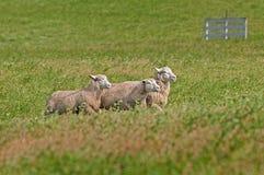 Τρία πρόβατα (Ovis aries) που οργανώνονται δεξιά Στοκ Φωτογραφίες