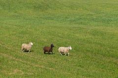 Τρία πρόβατα Ovis aries στη γραμμή που κινείται δεξιά Στοκ φωτογραφία με δικαίωμα ελεύθερης χρήσης