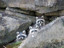 Τρία ρακούν μωρών στους βράχους στοκ εικόνες