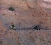 Τρία ρακούν που κάθονται σε έναν τοίχο στοκ εικόνες
