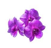 Τρία ροδανιλίνης λουλούδια ορχιδεών που απομονώνονται Στοκ εικόνες με δικαίωμα ελεύθερης χρήσης