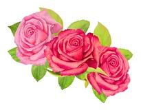 Τρία ρόδινα τριαντάφυλλα με το πράσινο φύλλωμα σε ένα άσπρο υπόβαθρο - ζωγραφική watercolor Στοκ Φωτογραφία