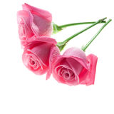 Τρία ρόδινα τριαντάφυλλα που απομονώνονται στο λευκό στοκ φωτογραφία