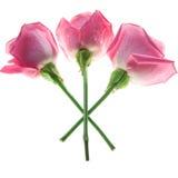 Τρία ρόδινα τριαντάφυλλα που απομονώνονται στο λευκό στοκ εικόνες με δικαίωμα ελεύθερης χρήσης