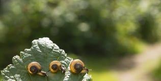 Τρία σαλιγκάρια κήπων που σέρνονται μεταξύ τους σε ένα φύλλο Στοκ Φωτογραφία