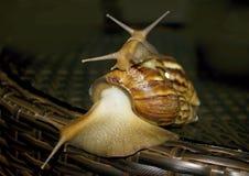 Τρία σαλιγκάρια με το όμορφο rakoyinami στην πλάτη Στοκ εικόνα με δικαίωμα ελεύθερης χρήσης