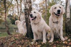 Τρία σιβηρικά γεροδεμένα και χρυσά Retrievers σκυλιών κάθονται στη στήριξη πάρκων φθινοπώρου Στοκ Εικόνες