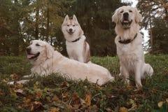 Τρία σιβηρικά γεροδεμένα και χρυσά Retrievers σκυλιών κάθονται στη στήριξη πάρκων φθινοπώρου Στοκ Εικόνα