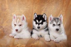Τρία σιβηρικά γεροδεμένα κουτάβια Στοκ Εικόνα