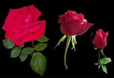 Τρία σκούρο κόκκινο τριαντάφυλλα που απομονώνονται στο Μαύρο Στοκ Φωτογραφίες