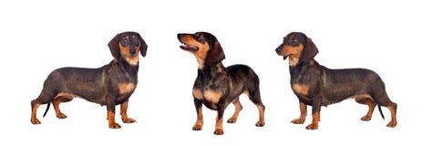 Τρία σκυλιά λουκάνικων καφετιά και μαύρα στοκ φωτογραφίες