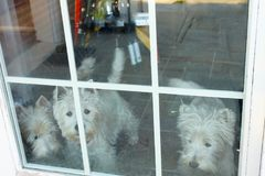 Τρία σκυλιά που φαίνονται έξω παράθυρο με το πάτωμα κεραμιδιών που παρουσιάζει πίσω από τους στοκ φωτογραφίες με δικαίωμα ελεύθερης χρήσης