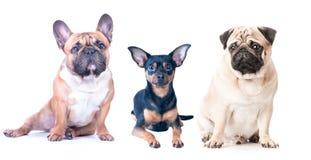 Τρία σκυλιά σε ένα άσπρο υπόβαθρο, που απομονώνεται Γαλλικό μπουλντόγκ, μαλαγμένος πηλός στοκ εικόνες