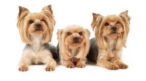 Τρία σκυλιά με το κούρεμα Στοκ Φωτογραφία