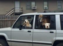 Τρία σκυλιά σε ένα αυτοκίνητο Στοκ Φωτογραφίες
