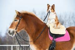 Τρία σκυλιά στο γκρίζο υπόβαθρο, κόλλεϊ συνόρων, poodle και μίγμα Στοκ Φωτογραφίες