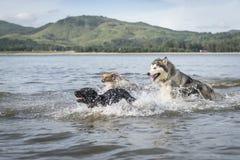 Τρία σκυλιά στο παίζοντας αυλάκωμα παραλιών στοκ εικόνες με δικαίωμα ελεύθερης χρήσης