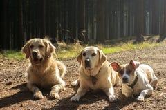 Τρία σκυλιά στο φωτισμό contrejour Στοκ Εικόνες