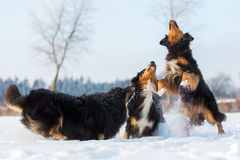 Τρία σκυλιά στο χιόνι Στοκ Φωτογραφίες