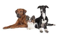 Τρία σκυλιά (Rhodesian Ridgeback Papillon και greyhound Hort) Στοκ εικόνα με δικαίωμα ελεύθερης χρήσης