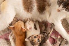 Τρία ταϊλανδικά γατάκια που τρώνε το γάλα στοκ εικόνες με δικαίωμα ελεύθερης χρήσης