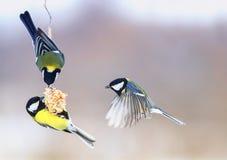 Τρία το όμορφο πεινασμένο μικρό πουλί Tits πέταξε σε μια κρεμώντας φάτνη στοκ εικόνες