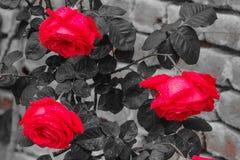 Τρία τριαντάφυλλα που βρέχονται από τη βροχή Στοκ εικόνα με δικαίωμα ελεύθερης χρήσης