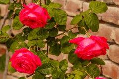 Τρία τριαντάφυλλα που βρέχονται από τη βροχή Στοκ Εικόνες