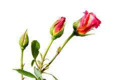 Τρία τριαντάφυλλα στο στάδιο της ωρίμανσης Στοκ Εικόνα