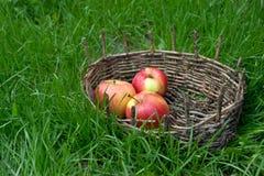 Τρία υγρά μήλα σε ένα παλαιό καλάθι Πράσινη χλόη γύρω Στοκ Φωτογραφία