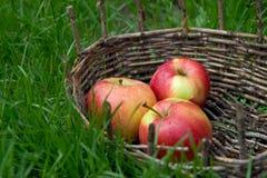 Τρία υγρά μήλα σε ένα παλαιό καλάθι Πράσινη χλόη γύρω Στοκ Εικόνες