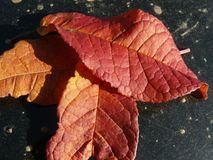 Τρία φλογερά φύλλα φθινοπώρου στο Μαύρο στοκ εικόνες