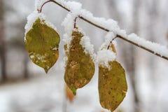 Τρία φύλλα στο δέντρο κάτω από το πρώτο χιόνι Στοκ Φωτογραφία