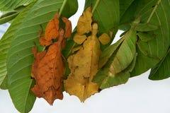 Τρία φύλλο-Mantis, εξωτικά έντομα μοιάζουν με ένα φύλλο φυτών διαβίωσης, καθμένος σε έναν θάμνο σε ένα άσπρο υπόβαθρο, Ινδονησία Στοκ Εικόνες