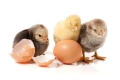 Τρία χαριτωμένα λίγο κοτόπουλο με το αυγό που απομονώνεται στο άσπρο υπόβαθρο Στοκ Φωτογραφία