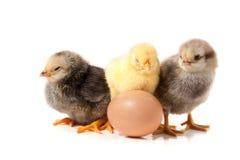 Τρία χαριτωμένα λίγο κοτόπουλο με το αυγό που απομονώνεται στο άσπρο υπόβαθρο Στοκ εικόνες με δικαίωμα ελεύθερης χρήσης