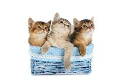 Τρία χαριτωμένα σομαλικά γατάκια που απομονώνονται στο άσπρο υπόβαθρο Στοκ φωτογραφίες με δικαίωμα ελεύθερης χρήσης
