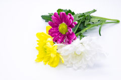 Τρία χρυσάνθεμα οδοντώνουν και κίτρινα και άσπρα στενά επάνω μακρο λουλούδια Στοκ Φωτογραφία